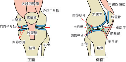 膝の構造のイラスト