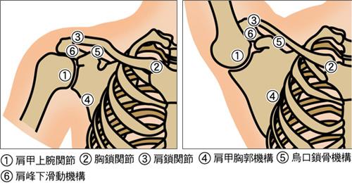 肩関節の構造のイラスト