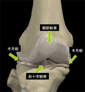 画像:膝組織図1
