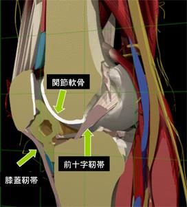 画像:膝組織図2